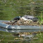 Nesting Loon thumbnail