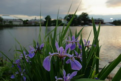 Purple irises by the river