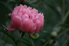 Peonies, 2018 (koperajoe) Tags: garden sonya6000 flower botanical bloom peony blossom summerflowers peonies