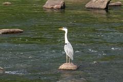 S18X5621 (Daegeon Shin) Tags: fujifilm xpro2 fujinon xf55200 55200 animal bird ave ardeacinerea heron garza mirrorless 후지 후지논 동물 새 조류 왜가리
