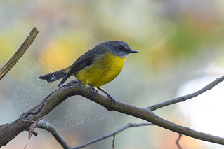 Eastern Yellow Robin : (Eopsaltria australis)