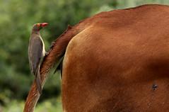 Oxpecker pecking ox (from both ends) (zimbart) Tags: africa namibia caprivi fauna vertebrata aves birds passeriformes buphagidae buphagus buphaguserythrorhynchus oxpecker