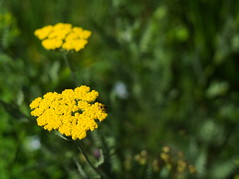 P6080386 (Asansvarld) Tags: flowers blommor yellow gult gul insekt olympusomdem5 microfourthirds manuallens manuelltfoto om50mmf18