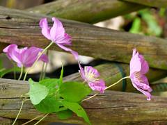 P1000598 (LOLODUTERRIER) Tags: fleur été rouge rose mauve jaunes lys pavot marguerite parfum macro senteur