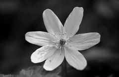 Wood Anemone (ronet) Tags: 35mm anemonenemorosa bw blackwhite diydeveloped film flower fp4 ipentax ilford ilfotecddx scanned whitepeak woodanemone cressbrookdale