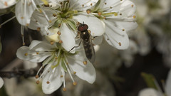 Platycheirus discimanus (prajpix) Tags: fly hover hoverfly bug insect diptera highlands scotland closeup macro nature wild wildlife white blackthorn tree