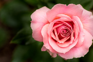 Pink Rose-BSG 3-0 F LR 6-10-18 J311
