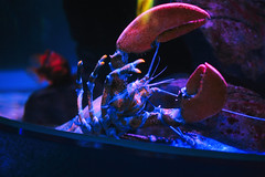 IMG_8684 (giltay) Tags: takumarsmc55mmf18 lobster