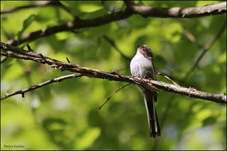 Long-tailed Tit (juvenile) / Молодая длиннохвостая синица / Aegithalos caudatus