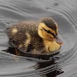 Ducky thumbnail
