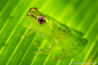 Reed Frog, Mozambique