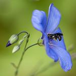 Abeille et fleur de lin thumbnail