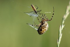 Aculepeira ceropegia wrapping Leptopterna dolabrata (?) (Phil Arachno) Tags: germany deutschland spider spinne arachnida arthropoda heteroptera ravensburg badenwürttemberg