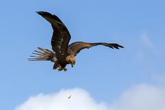 National botanic gardens of Wales, Feeding display (fillbee) Tags: national botanic gardens wales birdofprey prey feeding flight