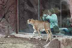Toronto Zoo - March 1, 2018 (Katherine Ridgley) Tags: toronto torontozoo zoo zooanimal animal animalia mammal mammalia cheetah cat bigcat acinonyxjubatus acinonyx felinae felidae feliformia carnivora carnicore