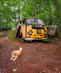 Junkyard cat and VW (Ed Rosack) Tags: pet usa georgia cat tree domestic mammal car panorama junkyard mirrorlessminutesfocusonatlanta oldcarcity automobile antiquesandcollectibles ©edrosack white
