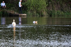 J78A1264 (M0JRA) Tags: birds flight flying wildlife rats walks gardens parks fields trees lakes ponds ducks swans rspb