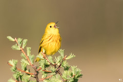 ''Si dieux existe!'' Parulne jaune-Yellow warbler (pascaleforest) Tags: oiseau bird animal passion nikon nature wild wildlife faune printemps spring québec canada song chant