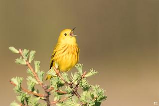 ''Si dieux existe!'' Parulne jaune-Yellow warbler