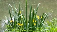 Iris jaune (Iris pseudacorus) (photopoésie) Tags: iridacées irispseudacorus aulnoy essômessurmarne