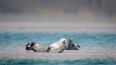 Sandbar bathing (Bondy Taylor) Tags: dof outdoor scotland seal wildlife beach cute lowangle nature possing sandbar sea water waves wild