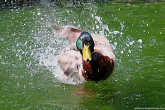 Mallard (Anas platyrhynchos) (Jeff G Photo - 3m+ views - jeffgphoto@outlook.c) Tags: anasplatyrhynchos mallard duck water waterfowl canarywharf jubileepark