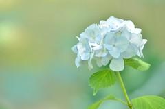 baby blue (snowshoe hare*) Tags: hydrangea flowers hokongointemple kyoto dsc0622 紫陽花 法金剛院 京都 archives