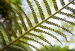 Fern and spores (claudiacridge) Tags: fern plant spore botany