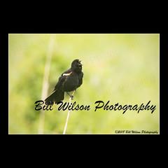 sing (wildlifephotonj) Tags: redwingedblackbird redwingedblackbirds blackbird blackbirds wildlifephotographynj naturephotographynj wildlifephotography wildlife nature naturephotography wildlifephotos naturephotos natureprints birds bird birdphotography