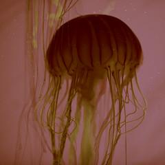 Fontanelle (Thomas Hawk) Tags: america chicago cnidaria cookcounty illinois johngsheddaquarium museumcampuschicago sheddaquarium usa unitedstates unitedstatesofamerica aquarium jellies jellyfish pink fav10