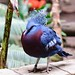 Blue-Crowned Pigeon (full body)