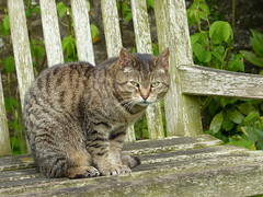 Don't Touch! (Marit Buelens) Tags: cat bench brown green england wiltshire lacockabbey stayaway wood nails whiskers kat katze poes tabby