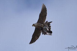 Peregrine with Dinner