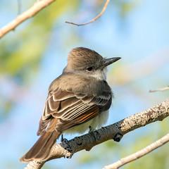 Ash-Throated Flycatcher (Ed Sivon) Tags: america canon nature lasvegas wildlife wild western southwest desert clark county vegas bird nevada