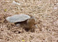 Common Snapping Turtle laying eggs, Bucks County, PA, June 2018 (sstaedtler) Tags: turtle reptile wildlife nature photography buckscounty pennsylvania egglaying