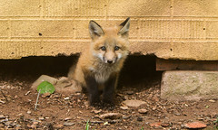 IMGL1274 Pugwash Red Fox Kit(s) (Wallace River) Tags: foxes novascotia pugwashfoxes redfoxes