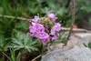 Thymus doerfleri (Nelleke C) Tags: 2018 albania albanie balkan shqipëria thethvalley flora holiday lamiaceae rocks rots thymusdoerfleri vakantie vallei valley