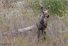 Young Moose 0438 (maguire33@verizon.net) Tags: grandtetonnationalpark bullmoose moose wildlife wyoming unitedstates us