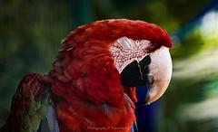 nap time... (@Katerina Log) Tags: bird wild wildlife wings feathers beak portrait closeup colour parrot attikazoopark katerinalog natura nature naptime depthoffield bokeh macro