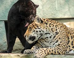 jaguar artis BB2A0617 (j.a.kok) Tags: jaguar rica animal southamerica zuidamerika leia kat cat mammal zoogdier dier predator artis blackjaguar zwartejaguar