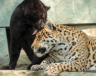 jaguar artis BB2A0617