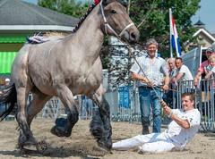 DSC_7711 (Ton van der Weerden) Tags: huubmommersteeg paulmommersteeg riekvandekornvmatteo trekpaard trekpaarden nederlands belgisch brabant cheval chevaix de trait belges
