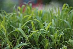 DSC08568 (Old Lenses New Camera) Tags: sony a7r meyer meyeroptik trioplan 100mm f28 plants garden leaves dewdrops
