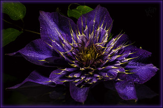 Clematis in from the Rain - Focus Stack