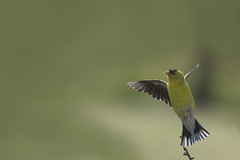 Lifting off (Jan.Timmons) Tags: goldfinch malegoldfinch pacificnorthwest americangoldfinch spinustristis cloudyday backlighting