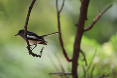 uk 2G6A1454 (uday khatri photography) Tags: udaykhatriphotography art udaykhatri fine bird beautiful birds nature wildlife working water garden green morning micro amazing abstract ahmedabad animal india indian canon creative care color beauty