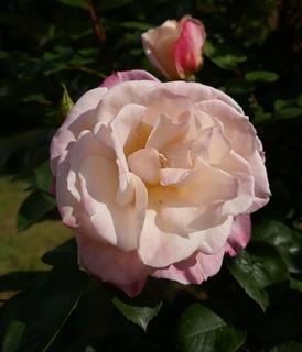 Au jardin, le temps des roses, Bosdarros, Béarn, Pyrénées Atlantiques, Aquitaine, France.