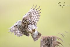 Steenuil-23212 (Sjors loomans) Tags: athene noctua owl bird birds nature natuur outdoor steenuil vogel wildlife sjors loomans steinkauz little holland mochuelo común natuurfotografie