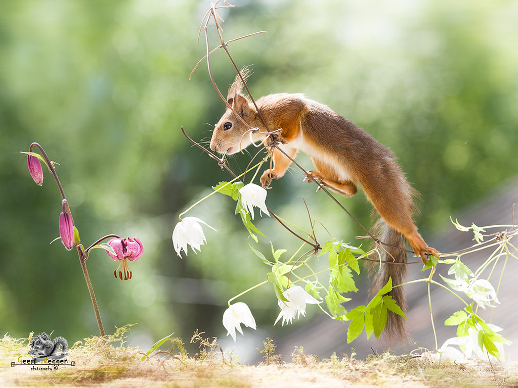 The worlds most recently posted photos of food and lily flickr red squirrel is standing on a clematis branch geert weggen tags flower holding izmirmasajfo