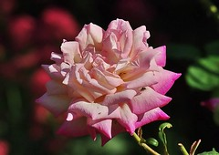 Rose -2- 2018 (mamietherese1) Tags: world100f